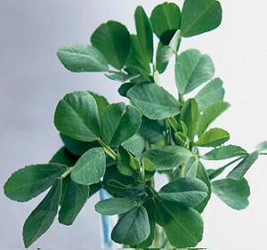 Fenugreek Extract Cas No.: 55399-93-4