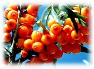 Seabuckthorn oil with low PAH content matching EURO standard